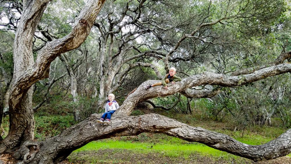 Oak Tree 2016